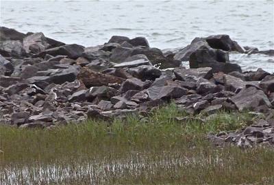 5 Black-bellied Plovers (one lower right in front of rocks) May 30, 2012