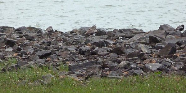 10 Black-bellied Plovers & 3 Ruddy Turnstones May 30, 2012