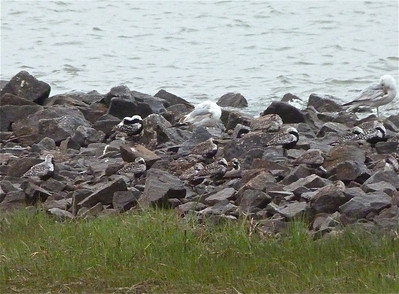 15 Black-bellied Plovers & 1 Ruddy Turnstone May 30, 2012