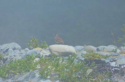 Horned Lark doc photo, August 10, 2012, in fog on Black Point Beach west of Hemeon Head