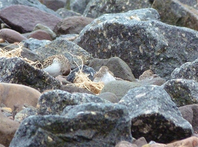 3 Semipalmated Sandpipers May 30, 2012