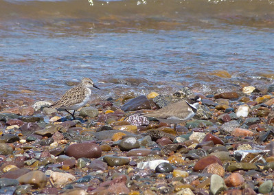 Semipalmated Sandpiper and Semipalmated Plover doc photo May 21, 2012