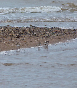 4 Semipalmated Sandpipers doc photo June 3, 2012
