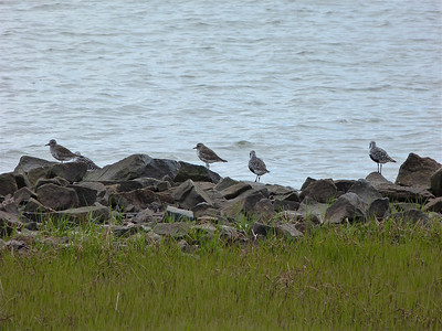 Black-bellied Plovers June 1, 2012