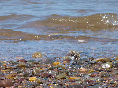 Semipalmated Sandpiper doc photo May 21, 2012