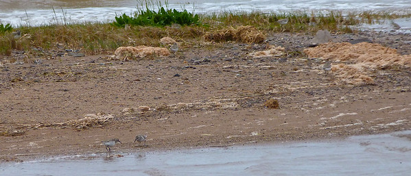 9 Semipalmated Sandpipers doc photo, 4 are in the grassy area, 5 out in the open, June 3, 2012