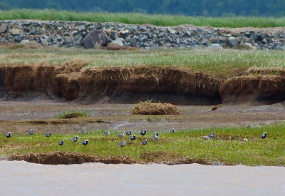 19 Black-bellied Plovers & 3 Red Knots doc photo June 7, 2012