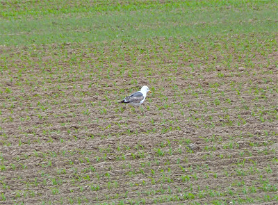 Lesser Black-backed Gull doc photo June 6, 2012
