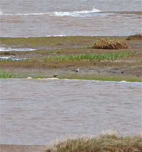 Red Knot on left doc photo June 7, 2012