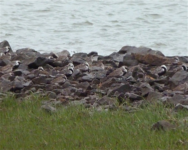 22 Black-bellied Plovers (actually 23, LOL) May 30, 2012