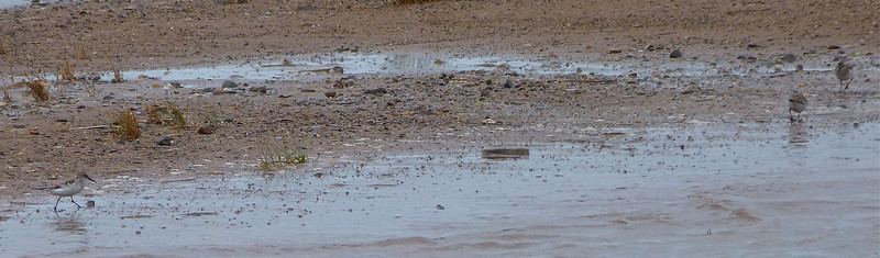 3 Semipalmated Sandpipers doc photo June 3, 2012