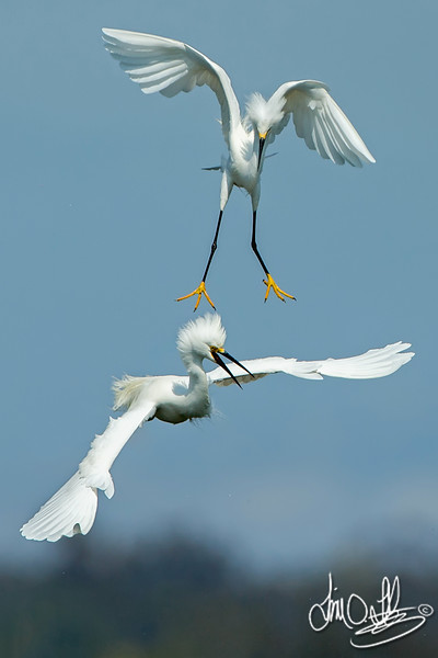 Snowy Egrets Fighting