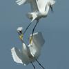 Snowy Egrets Fighting