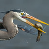 Great Blue Heron Flying by with a Trout