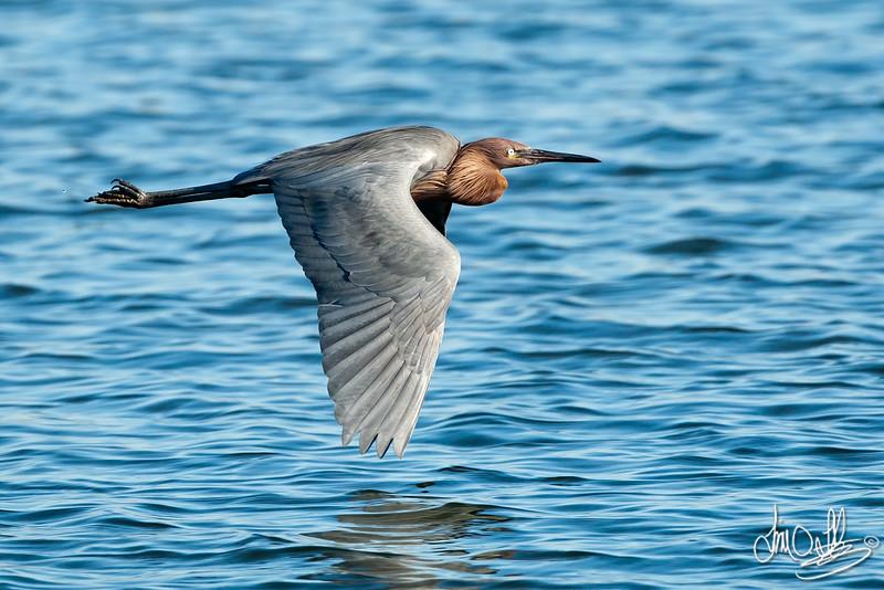 Reddish Egret In-Flight