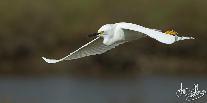Snowy Egret In-Flight