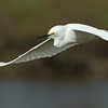 Snowy Egret In-Flight