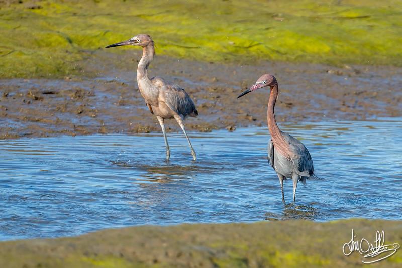 Reddish Egrets, an Adult and a Juvenile