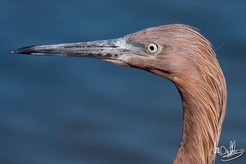 Reddish Egret Portrait
