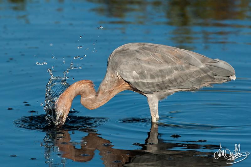 Reddege Egret Catching a Fish
