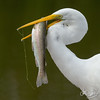 Great Egret with a fresh caught trout