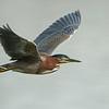 Green Heron In-Flight