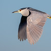 Black-crowned Night Heron in flight. Bolsa Chica Wetlands • Huntington Beach, CA