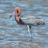 Reddish Egret in High Breeding Plumage