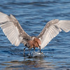 Reddish Egret Catching a Fish