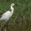 Snowy Egret with a Dragonfly Snack
