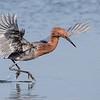 Reddish Egret