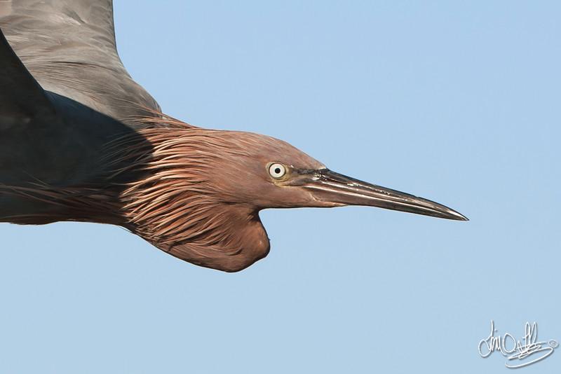 Close Reddish Egret Flyby