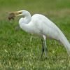 Great Egret with a Gopher