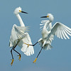 Snowy Egrets fighting Bolsa Chica Wetlands • Huntington Beach, CA