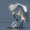 Snowy Egret with a Clam Problem