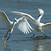 Snowy Egrets Bolsa Chica Wetlands • Huntington Beach, CA