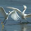 Snowy Egret Chase