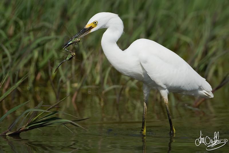 Snowy Egret with Dragonfly Snacks