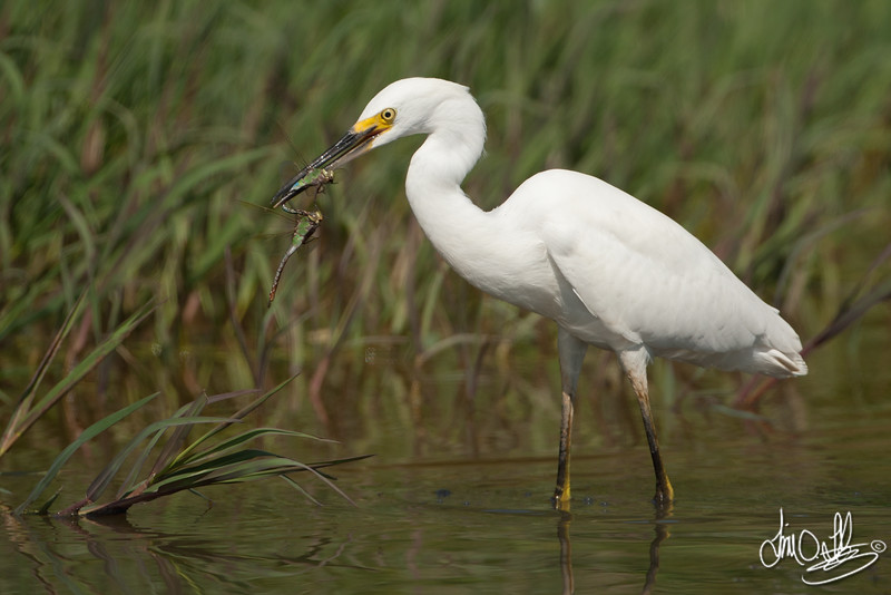 Snowy Egret Snacking on some Dragonflies