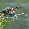 Green Heron takeoff