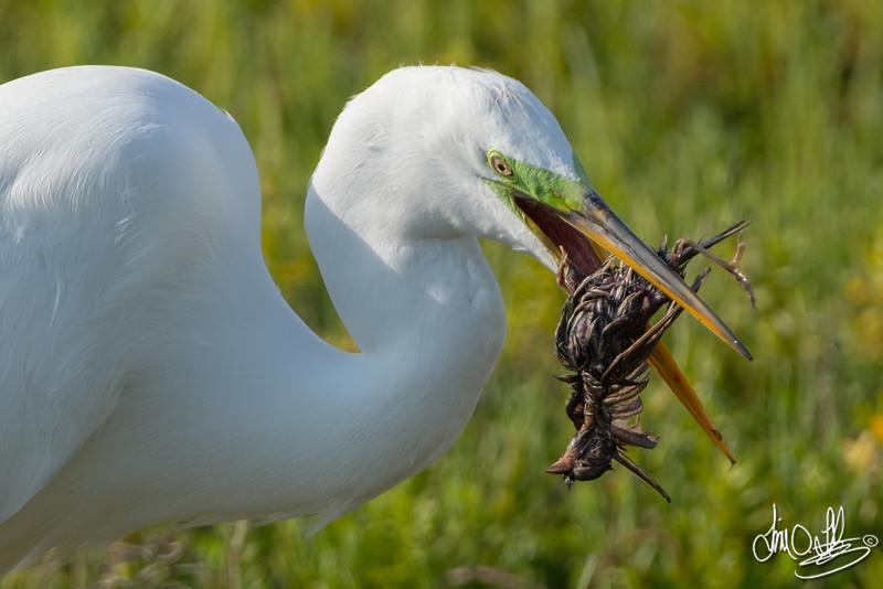 Great Egret Eating a Savannah Sparrow