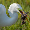 Great Egret Eating a Savannah Sparrow