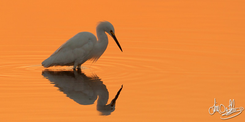 Snowy Egret Early morning light at the wetlands Bolsa Chica Wetlands • Huntington Beach, CA
