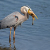 Great Blue Heron with a stingray