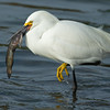 Snowy Egret with a Longjaw Mudsucker
