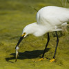 Snowy Egret with catch Bolsa Chica Wetlands • Huntington Beach, CA