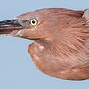 Reddish Egret In-Flight Close-Up