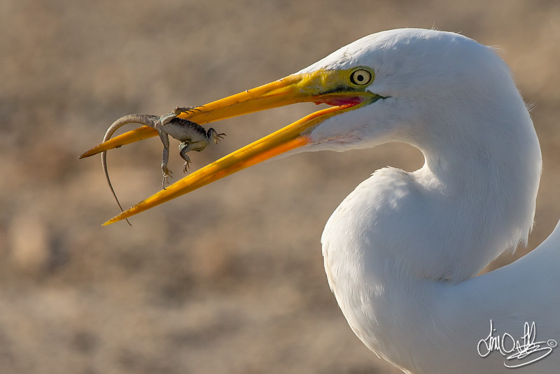 Great Egret eating a lizard