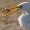 Great Egret eating a lizard