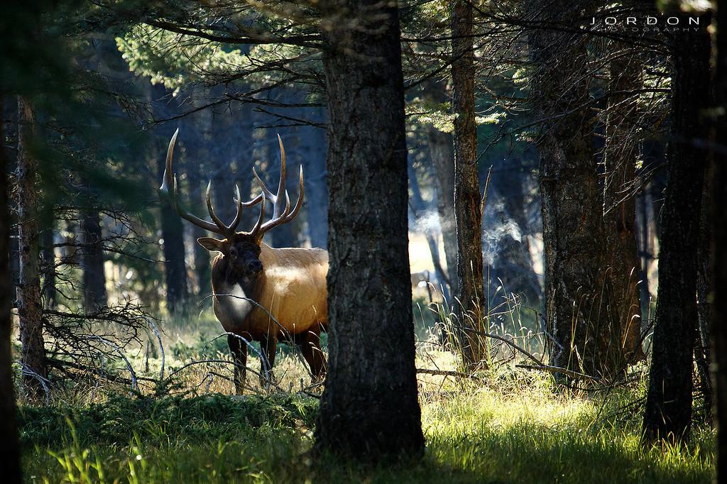 IMAGE: http://www.jordonphotography.com/Nature/ELK-1/i-hH6XwK2/0/XL/5D3_8887%20f-XL.jpg